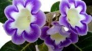 Глоксиния: уход в домашних условиях и фото цветов