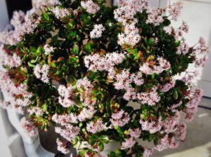 Цветущее денежное дерево (толстянка) – особенности ухода в домашних условиях