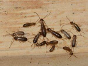Двухвостка – фото и особенности насекомого
