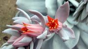 Эхеверия — виды и разновидности цветка с фото