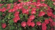 Герань садовая – особенности посадки и ухода, названия и фото сортов