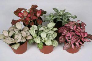 Привередливая фиттония – условия выращивания и уход за комнатным цветком