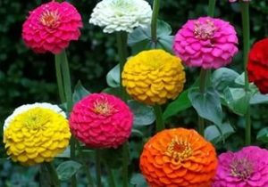 Выращивание цинии: когда сажать и как собрать семена