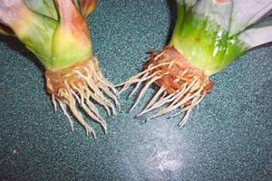 Что делать, если у орхидеи сгнили корни: «реанимация» в домашних условиях