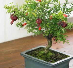 Гранат в домашних условиях – выращиваем из косточки