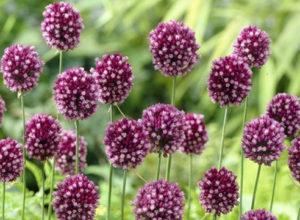 Лук-чеснок Рокамболь – агротехника выращивания на огороде