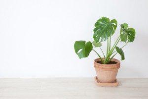 Монстера: можно ли держать цветок дома и почему нельзя