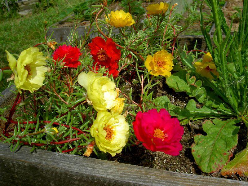 Портулак крупноцветковый – выращивание из семян, сорта и нюансы ухода