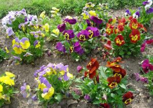 Виола: правила посадки и тонкости ухода за цветком