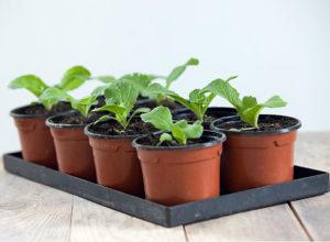 Особенности выращивания пекинской капусты – полезные рекомендации