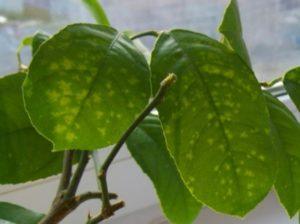 Лимонное дерево – как вырастить из косточки в домашних условиях