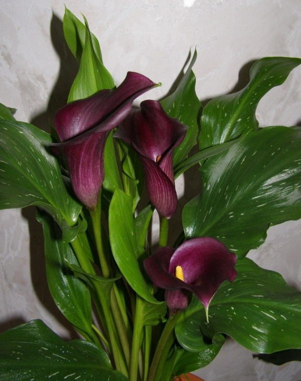 Зантедеския (калла эфиопская) – капризный, но очень красивый комнатный цветок